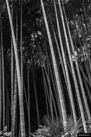 Bamboos Everywhere