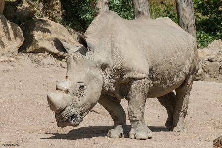 Sir Rhino