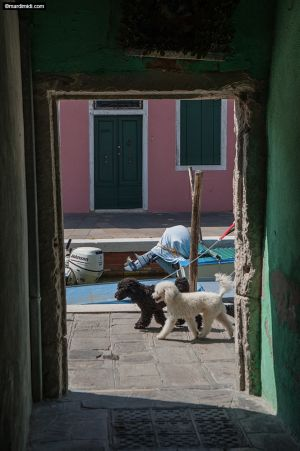 Dogs in Burano